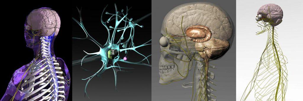 脳の三次元モデル
